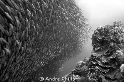 baitball of sardines on the edge of &quot;Panorama&quot;-Reef by Andre Philip 